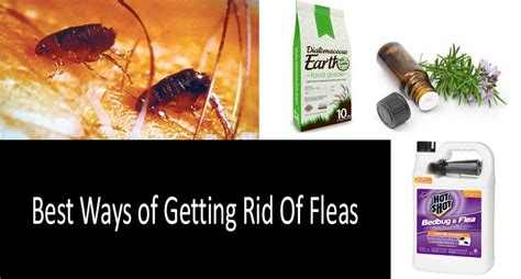 best way to get rid of fleas on dogs how to get rid of fleas in backyard outdoor goods