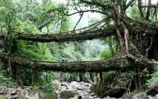 Living Bridges by Living Root Bridges