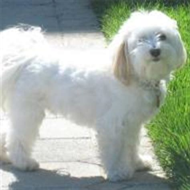 do havanese dogs bark a lot havanese breeds dogbreedworld