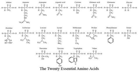 diagram of amino acid diagram of the twenty essential amino acids biology