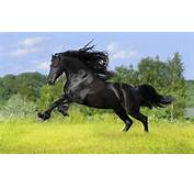 Horse Wallpaper  Running Black Is A Great For Your