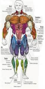 Your job is to diagram and label the major muscle groups for both the
