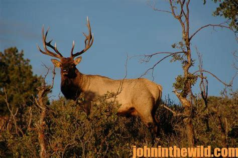 Arizona Records 2013 Avid Bowhunter Cindi Richardson Takes Record Arizona Elk In 2013 In The