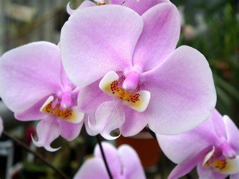 vasi per orchidee phalaenopsis vasi per orchidee orchidee vasi per orchidee