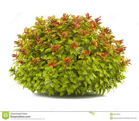 plant bush isolated spiraea stock illustration image
