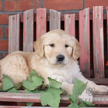 golden retriever puppies malta view ad golden retriever puppy for sale pennsylvania gap usa