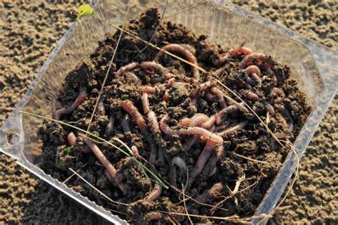 Obat Cacing Tanah cacing tanah sebagai obat alami dan indikator polusi