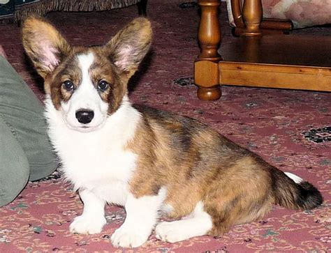 corgi puppies colorado cardigan corgi puppy grantham lincolnshire pets4homes
