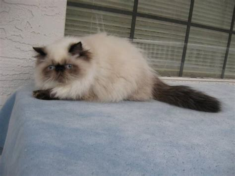 Himalayan Seal Point Seal Point Himalayan Cat Www Imgkid The Image Kid