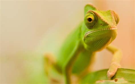 wallpaper little green little green chameleon wallpaper wallpaper wallpaperlepi