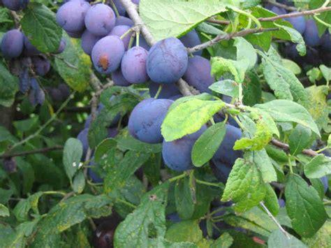 damson fruit trees healthy foods damson edible drupaceous fruit
