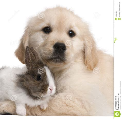 golden retriever up golden retriever puppy 20 weeks stock image