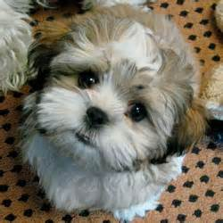 Puppy that looks like a teddy bear