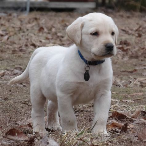yellow lab puppies for sale yellow lab puppies quotes