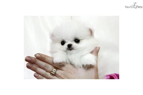 white micro teacup pomeranian puppy tiny teacup white pomeranian puppies car pictures