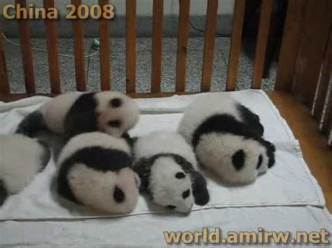 Baby Panda Climbing Out Of Crib by Panda Babies Doovi