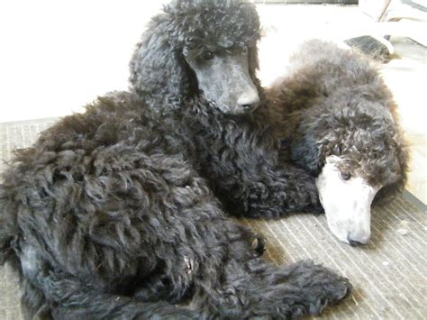 standard poodle puppies standard poodle puppies spalding lincolnshire pets4homes