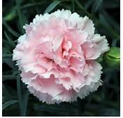 Carnations Flowers Carnation Flower Gallery 7