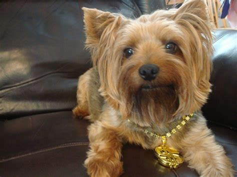 tracheal collapse in yorkies what you need to about tracheal collapse in dogs pet care rescue