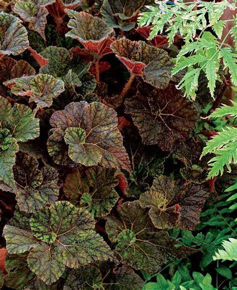 rex begonia garden home pinterest