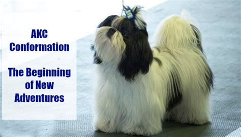 new beginnings shih tzu akc conformation the beginning of new adventures oh my shih tzu