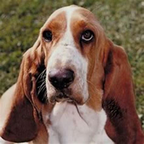 How Much Do Basset Hounds Shed by Tips Tips Memelihara Anjing Your Pet