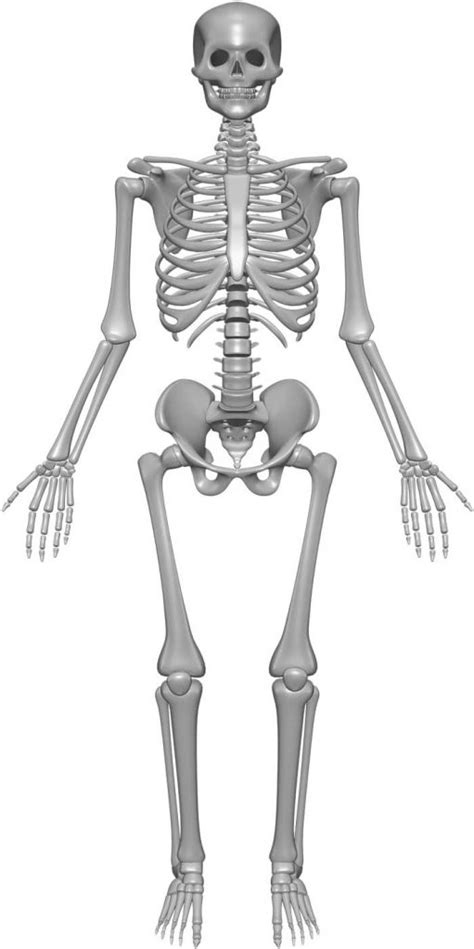 Skeleton System - (Structure + Composition + Facts