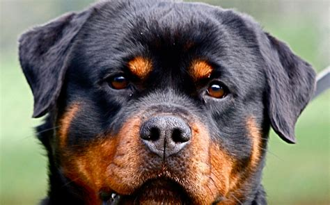 rottweiler picture rottweiler breed guide learn about the rottweiler