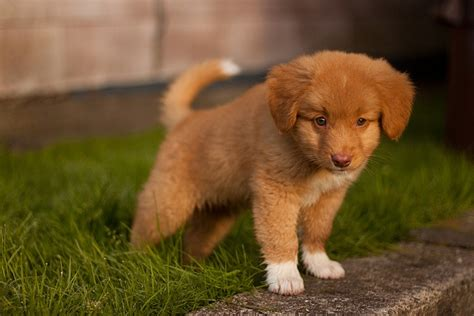 toller puppies scotia duck tolling retriever puppy puppies ducks scotia
