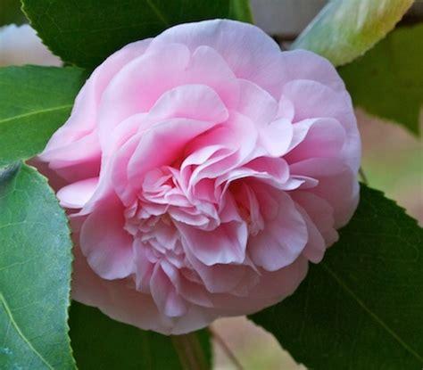 Tanaman Bunga Azalea Pink Tumpuk tanaman pink camellia japonica bibitbunga