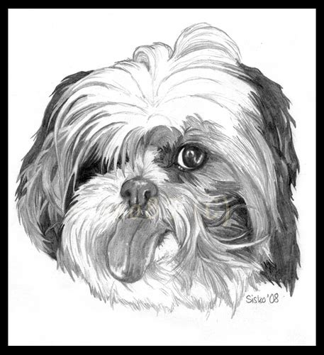 shih tzu clubs shih tzu images shih tzu wallpaper and background photos 13713341