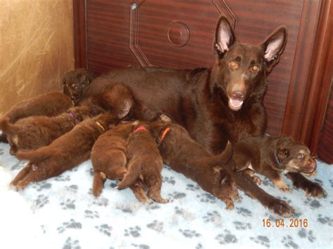 liver colored german shepherd german shepherd puppies liver and gold longcoats