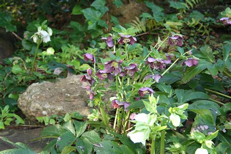 hellebore pruning how to and a cautionary tale north