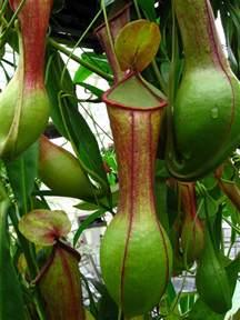 vriksha nursery carnivorous plants in mumbai