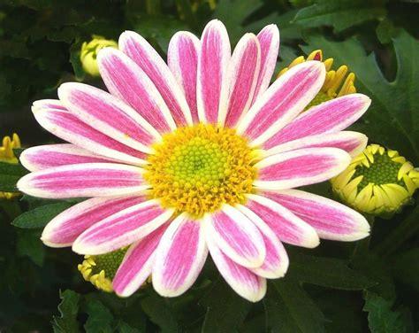 el crisantemo y la el crisantemo plantas