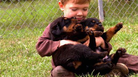 rottweiler episode wrestlin rottweiler pups animal planet