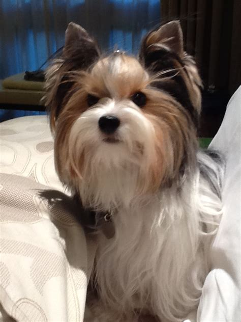 biewer terrier haircuts 124 best yorkie biewers images on pinterest yorkies