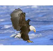 Bald Eagle Pictures  1600x1200