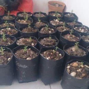 Pupuk Untuk Bunga Lavender 9 cara menanam bunga lavender di pot panduan lengkap