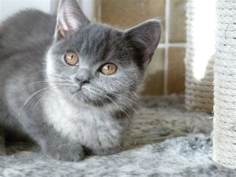 shorthair kittens for sale shorthair kittens for sale orpington kent