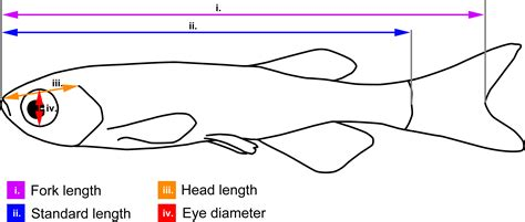 Length Of A by A Simple Non Invasive Method For Measuring Gross Brain
