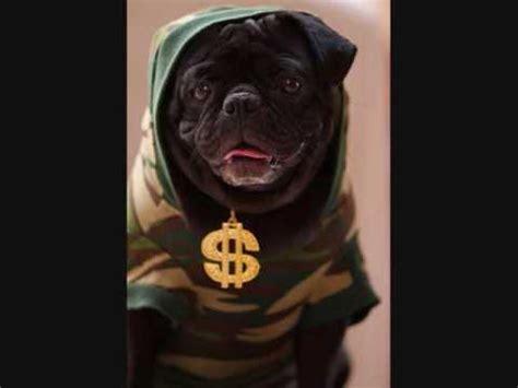 gangster pug gangsta pug