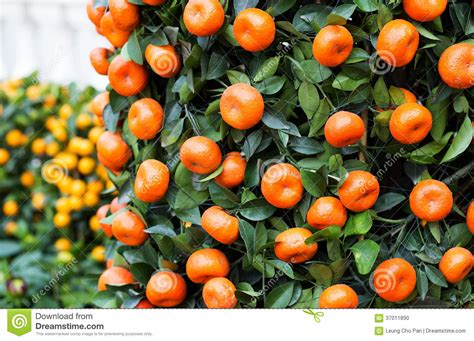 new year oranges with leaves citrus fruit for new year stock photo image