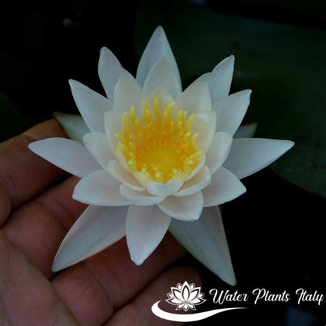 walter fiore walter pagels piante acquatiche water plants italy