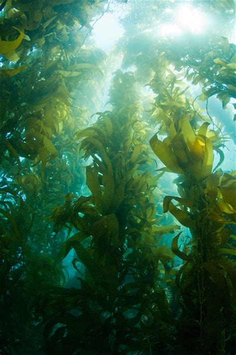 the in the kelp the california kelp forest adventure november 2011