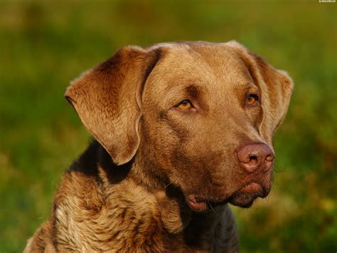 Chesapeake Bay Retriever Shed by Golden Weiner Dogs For Adoption Breeds Picture