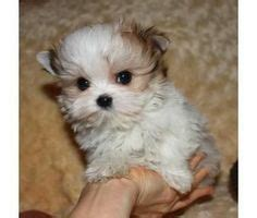 shih tzu puppies for sale in california cheap shih tzu puppies small for sale cheap puppy for sale 163 1800 posted 4 months ago
