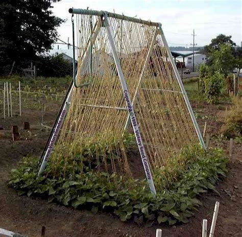 old swing set bean growing and trellising information from victory seeds