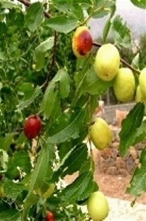 piante da frutta in vaso piante da frutto in vaso domande e risposte orto e frutta