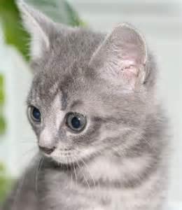 Gray_<strong>kitten</strong>.jpg